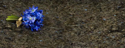 Spring blue wild flowers Scilla on Labrador Antique granite surf. Spring blue wild flowers Scilla on Labrador Antique granite stone countertop Royalty Free Stock Image