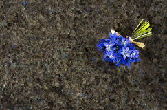 Spring blue wild flowers Scilla on Labrador Antique granite surf Royalty Free Stock Photography
