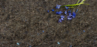 Spring blue wild flowers Scilla and willow branches on Labrador Royalty Free Stock Images