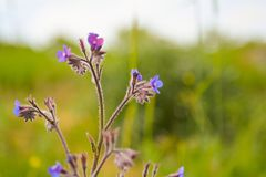 Spring blue wildflowers in field Royalty Free Stock Images