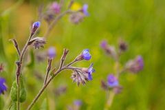 Spring blue wildflowers Stock Photo