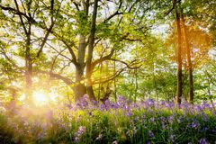 Spring bluebell forest with beautiful sunrise in Norfolk Stock Image