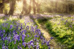 Spring bluebell path through a magical forest. Dawn sunlight coming through the misty trees Royalty Free Stock Image
