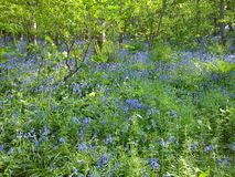 Spring Bluebell Wood. Bluebells in flower in woodland in Devon, UK. The Spring flowers are among ferns and trees with new green leaves, in sunlight and shadows Stock Photos