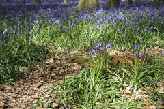 Spring bluebell woods englsih countryside Stock Photography