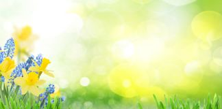 Spring bluebells and daffodils Royalty Free Stock Images