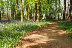 Spring Bluebells in an English Beech Wood Royalty Free Stock Images