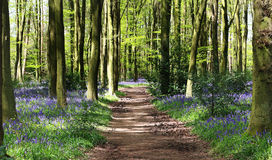 Spring Bluebells in an English Beech Wood Royalty Free Stock Image