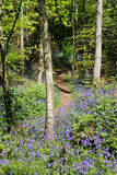 Spring Bluebells in an English Wood Royalty Free Stock Photo