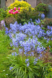 Spring bluebells in the garden Royalty Free Stock Image