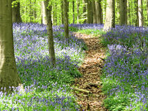 Spring with Bluebells (Hyacinthoides non-scripta) carpet in Hallerbos, belgium Royalty Free Stock Photography