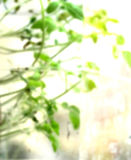 Spring blur background. Tiny tomato plants in sun-flooded greenhouse, niceh blurry sunny background royalty free stock image