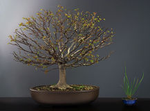 Spring bonsai elm tree. In spring season Stock Photo