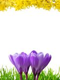 Spring border in 3 colors. Border with white copy space, composed of crocuses, grass and forsythia royalty free stock images