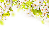 Spring. Border background with apple tree blossoms, isolated on white background. Free space fro text royalty free stock photo