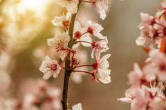 Spring border or background art with pink blossom Royalty Free Stock Photo