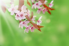 Spring border background with blooming flowers on tree branch Stock Photo