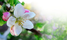 Spring border or background with pink blossom Stock Image
