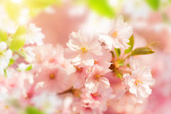 Spring border background with pink blossom Stock Images