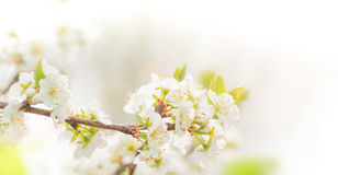 Spring border background with pink blossom Royalty Free Stock Photography
