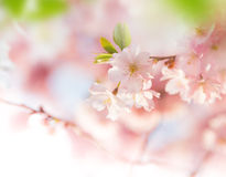 Spring border background with pink blossom. Close-up Stock Photography