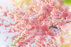Spring border background with pink blossom Stock Photography