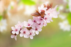 Spring border background with pink blossom Stock Photo