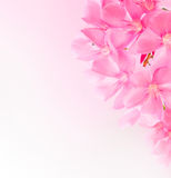 Spring border or background with pink blossom Royalty Free Stock Photo