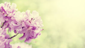 Spring border background with rhododendron flowers, colorised image with sun flare Royalty Free Stock Image