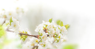 Spring border background with white blossom. Close-up Royalty Free Stock Images