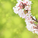 Spring border background with white blossom, colorised image with sun flare Stock Photography