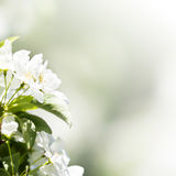 Spring border or background with white blossom with natural light bokeh stock image