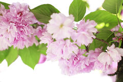 Spring border with pink flowers Royalty Free Stock Images
