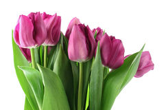 Spring Bouquet. Purple tulips on white background Royalty Free Stock Photography