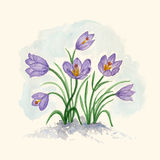 Spring bouquet of flowers crocuses. Royalty Free Stock Image