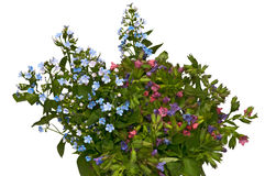 Spring bouquet - forget-me-not and lungwort Royalty Free Stock Images