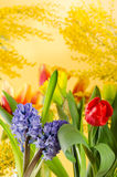 Bouquet with a mimosa and tulips Stock Photography