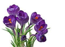 Spring bouquet of purple crocuses Stock Photo