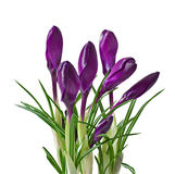 Spring bouquet of purple crocuses Stock Photography