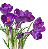 Spring bouquet of purple crocuses Royalty Free Stock Photo