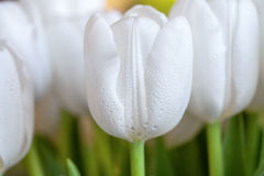 Spring bouquet of white tulips with green leaves over background, close up Royalty Free Stock Photography