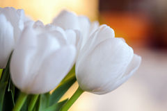 Spring bouquet of white tulips with green leaves over background garden, Royalty Free Stock Images