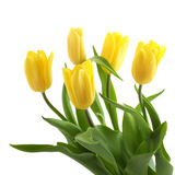 Spring bouquet of yellow tulips isolated Royalty Free Stock Photo