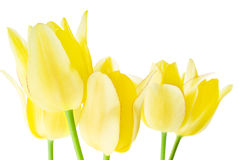 Spring bouquet of yellow tulips Stock Photography