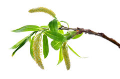 Spring branch Royalty Free Stock Image