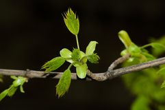 Spring branch. Leaves are dismissed on a branch. Close up Royalty Free Stock Photos