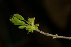 Spring branch. Leaves are dismissed on a branch. Close up Royalty Free Stock Images
