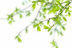 Spring branch Stock Image