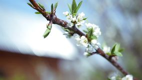 Spring branch with beautiful white flowers of apple tree. slow motion. 1920x1080 stock footage