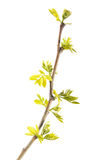 Spring branch of black locust with young leaves isolated on white background stock images